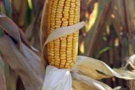 Maïs Monsanto: Oh la belle daube...